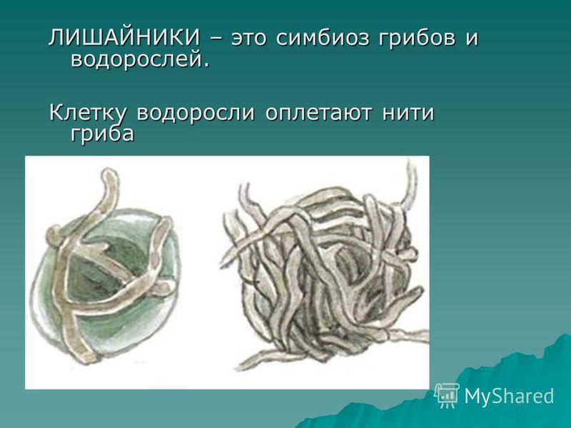 ЛИШАЙНИКИ – это симбиоз грибов и водорослей. Клетку водоросли оплетают нити гриба