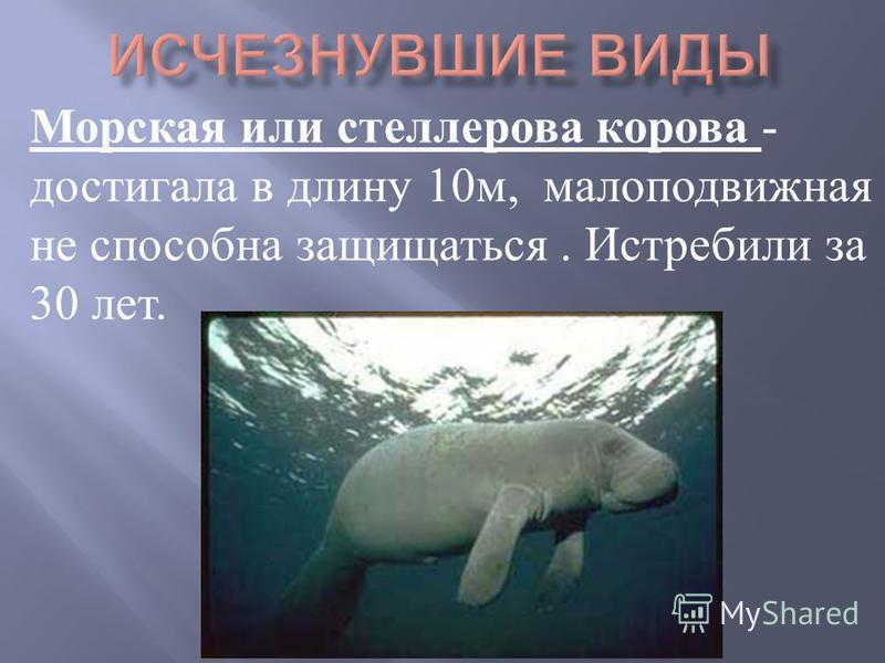 Морская или стеллерова корова - достигала в длину 10 м, малоподвижная не способна защищаться. Истребили за 30 лет.