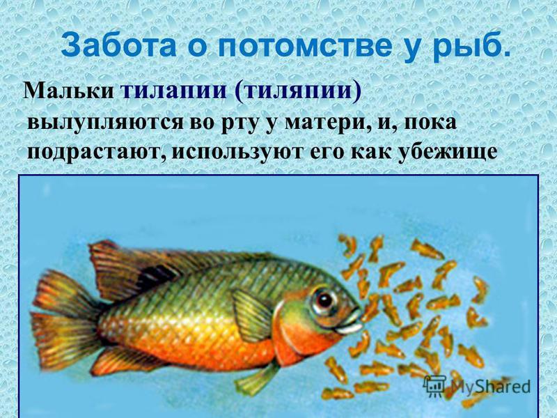 Мальки тилапии (тиляпии) вылупляются во рту у матери, и, пока подрастают, используют его как убежище при возникновении опасности. Забота о потомстве у рыб.
