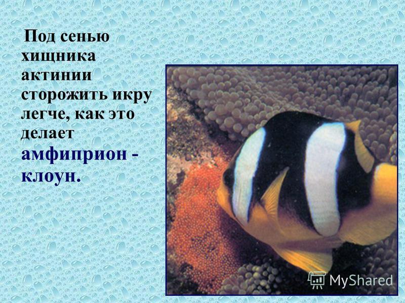 Под сенью хищника актинии сторожить икру легче, как это делает амфиприон - клоун.