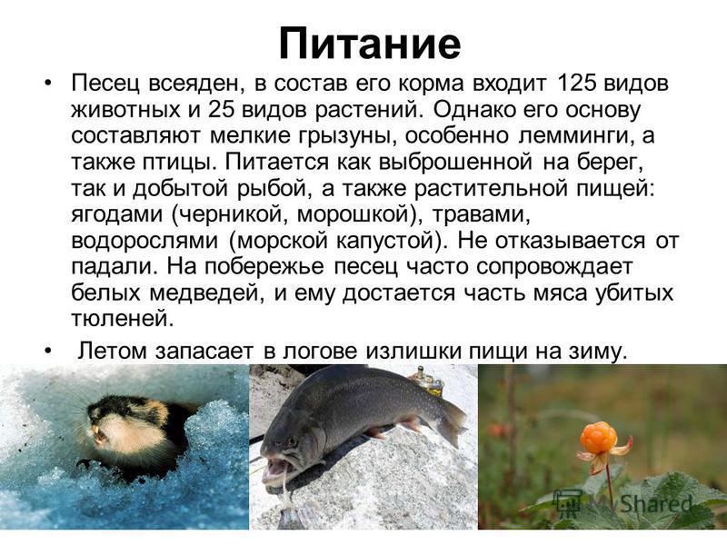 Питание Песец всеяден, в состав его корма входит 125 видов животных и 25 видов растений. Однако его основу составляют мелкие грызуны, особенно лемминги, а также птицы. Питается как выброшенной на берег, так и добытой рыбой, а также растительной пищей
