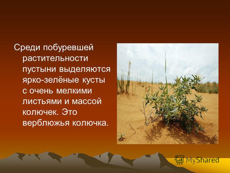 Среди побуревшей растительности пустыни выделяются ярко-зелёные кусты с очень мелкими листьями и массой колючек. Это верблюжья колючка.