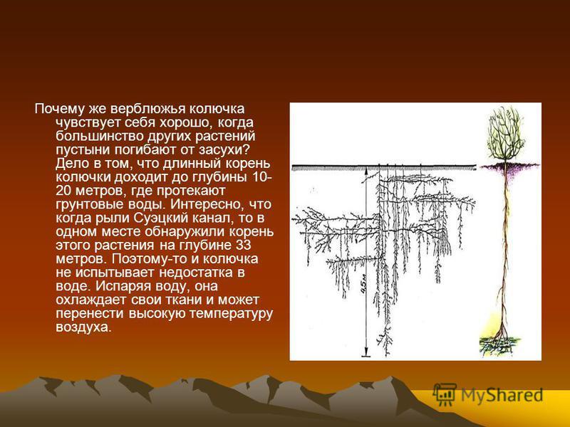 Почему же верблюжья колючка чувствует себя хорошо, когда большинство других растений пустыни погибают от засухи? Дело в том, что длинный корень колючки доходит до глубины 10- 20 метров, где протекают грунтовые воды. Интересно, что когда рыли Суэцкий