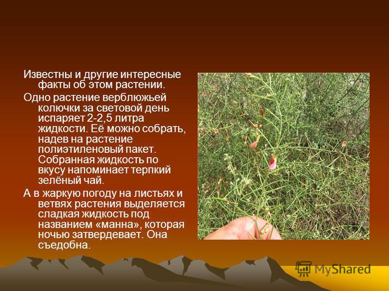 Известны и другие интересные факты об этом растении. Одно растение верблюжьей колючки за световой день испаряет 2-2,5 литра жидкости. Её можно собрать, надев на растение полиэтиленовый пакет. Собранная жидкость по вкусу напоминает терпкий зелёный чай
