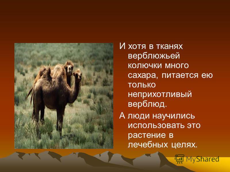 И хотя в тканях верблюжьей колючки много сахара, питается ею только неприхотливый верблюд. А люди научились использовать это растение в лечебных целях.