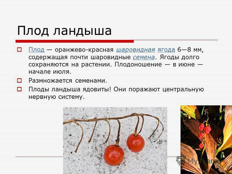 Плод ландыша Плод оранжево-красная шаровидная ягода 68 мм, содержащая почти шаровидные семена. Ягоды долго сохраняются на растении. Плодоношение в июне начале июля. Плодшаровиднаяягодасемена Размножается семенами. Плоды ландыша ядовиты! Они поражают