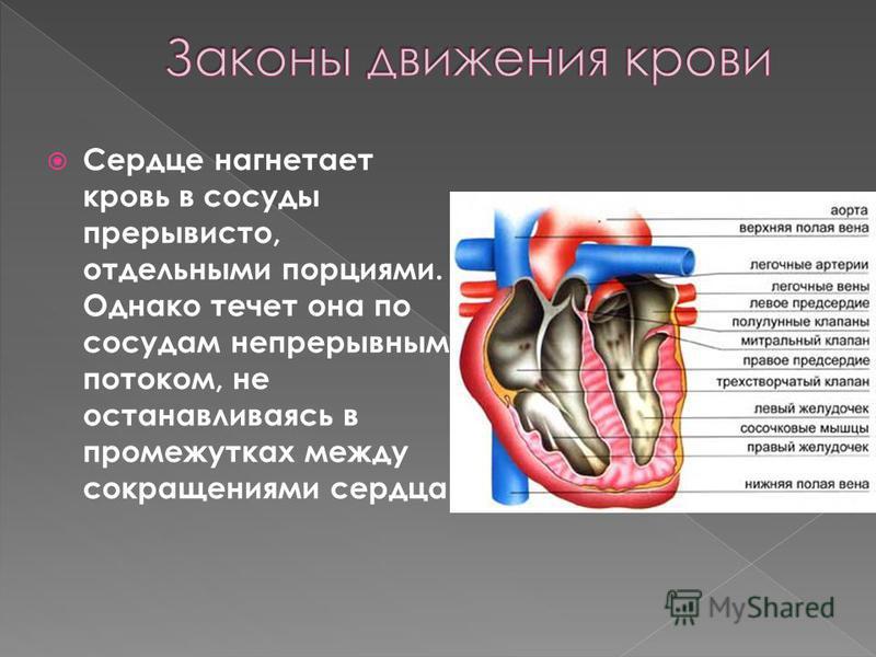 Сердце нагнетает кровь в сосуды прерывисто, отдельными порциями. Однако течет она по сосудам непрерывным потоком, не останавливаясь в промежутках между сокращениями сердца.