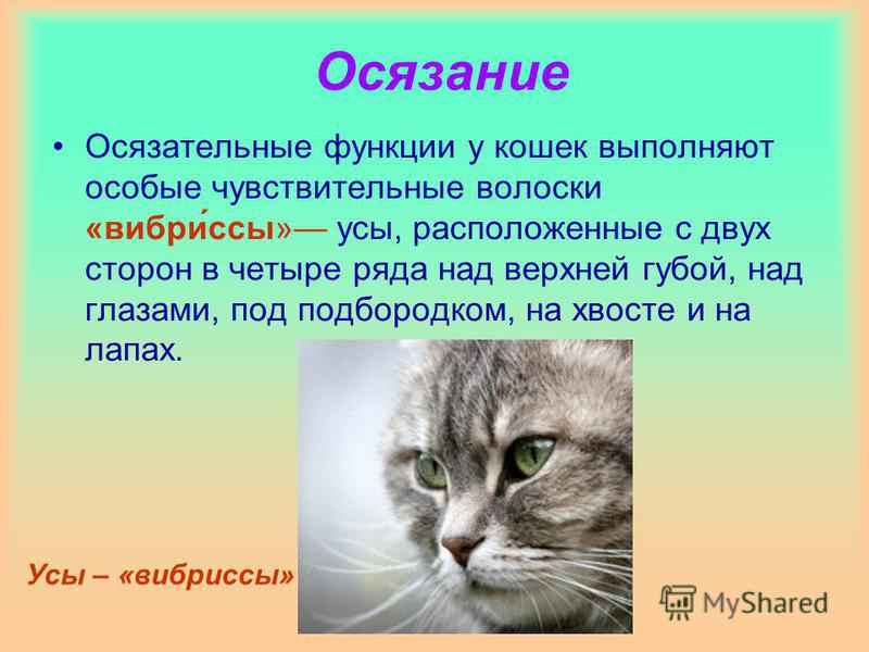 Осязание Осязательные функции у кошек выполняют особые чувствительные волоски «вибро́усы» усы, расположенные с двух сторон в четыре ряда над верхней губой, над глазами, под подбородком, на хвосте и на лапах. Усы – «виброусы»