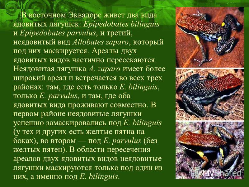 В восточном Эквадоре живет два вида ядовитых лягушек: Epipedobates bilinguis и Epipedobates parvulus, и третий, неядовитый вид Allobates zaparo, который под них маскируется. Ареалы двух ядовитых видов частично пересекаются. Неядовитая лягушка A. zapa