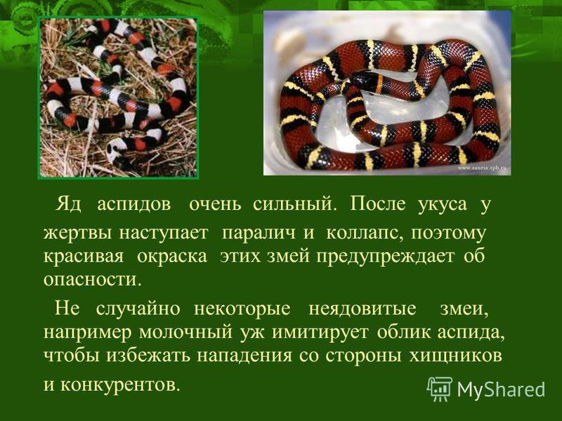 Яд аспидов очень сильный. После укуса у жертвы наступает паралич и коллапс, поэтому красивая окраска этих змей предупреждает об опасности. Не случайно некоторые неядовитые змеи, например молочный уж имитирует облик аспида, чтобы избежать нападения со