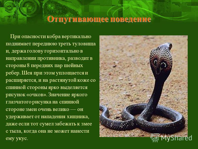 Отпугивающее поведение При опасности кобра вертикально поднимает переднюю треть туловища и, держа голову горизонтально в направлении противника, разводит в стороны 8 передних пар шейных ребер. Шея при этом уплощается и расширяется, и на растянутой ко