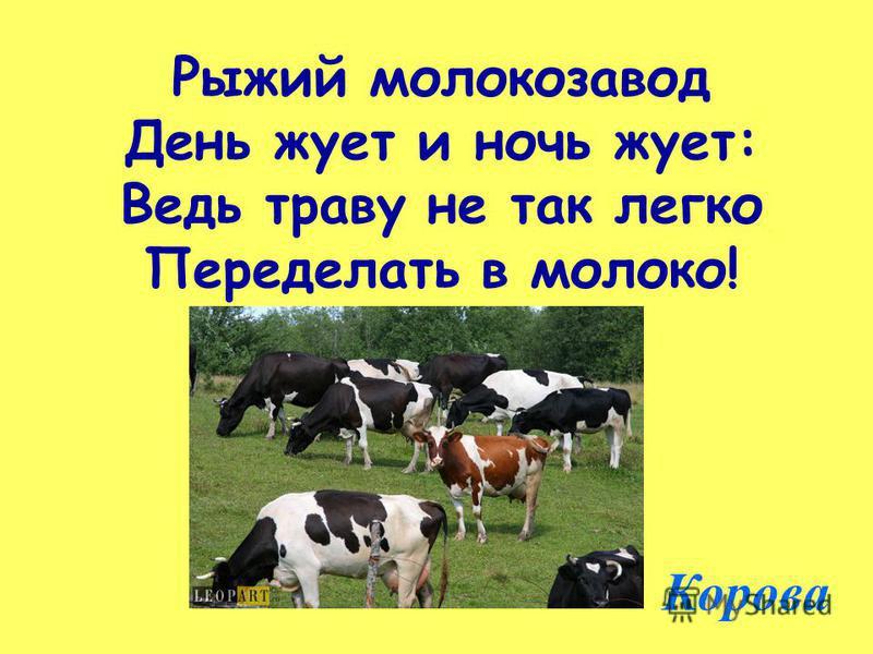 Рыжий молокозавод День жует и ночь жует: Ведь траву не так легко Переделать в молоко! Корова