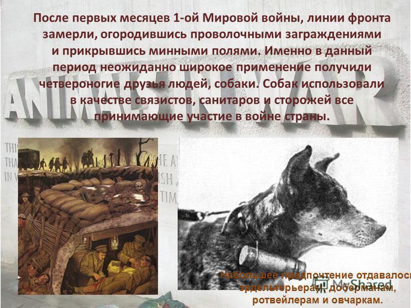 После первых месяцев 1-ой Мировой войны, линии фронта замерли, огородившись проволочными заграждениями и прикрывшись минными полями. Именно в данный период неожиданно широкое применение получили четвероногие друзья людей, собаки. Собак использовали в