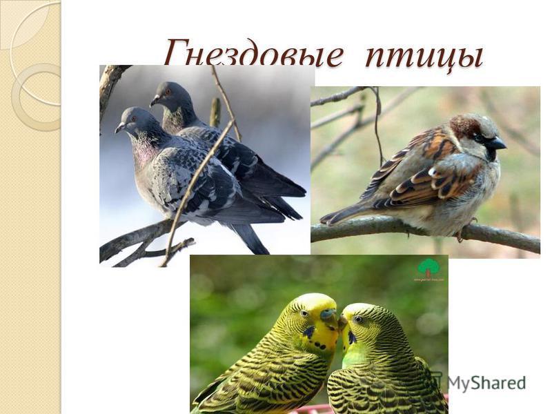 Гнездовые птицы Гнездовые птицы