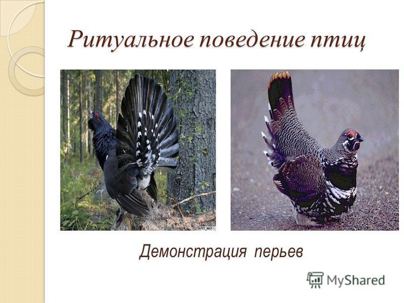 Ритуальное поведение птиц Демонстрация перьев