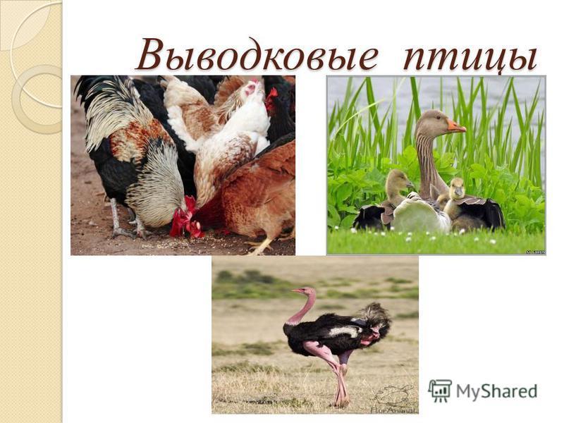 Выводковые птицы Выводковые птицы