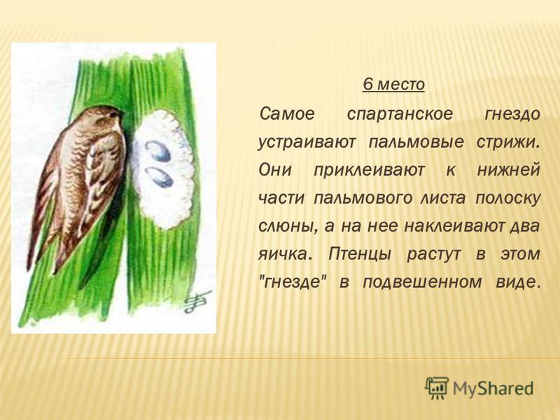 6 место Самое спартанское гнездо устраивают пальмовые стрижи. Они приклеивают к нижней части пальмового листа полоску слюны, а на нее наклеивают два яичка. Птенцы растут в этом гнезде в подвешенном виде.