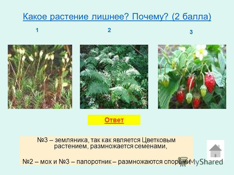 Какое растение лишнее? Почему? (2 балла) 12 3 3 – земляника, так как является Цветковым растением, размножается семенами, 2 – мох и 3 – папоротник – размножаются спорами Ответ