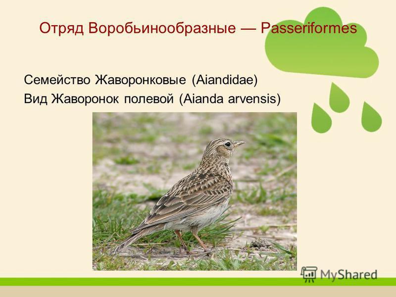 Отряд Воробьинообразные Passeriformes Семейство Жаворонковые (Aiandidae) Вид Жаворонок полевой (Aianda arvensis)