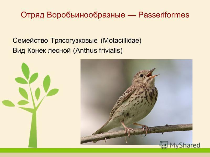 Отряд Воробьинообразные Passeriformes Семейство Трясогузковые (Motacillidae) Вид Конек лесной (Anthus frivialis)