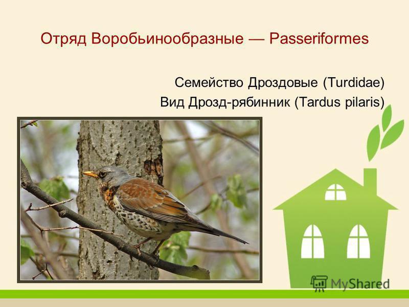 Отряд Воробьинообразные Passeriformes Семейство Дроздовые (Turdidae) Вид Дрозд-рябинник (Tardus pilaris)