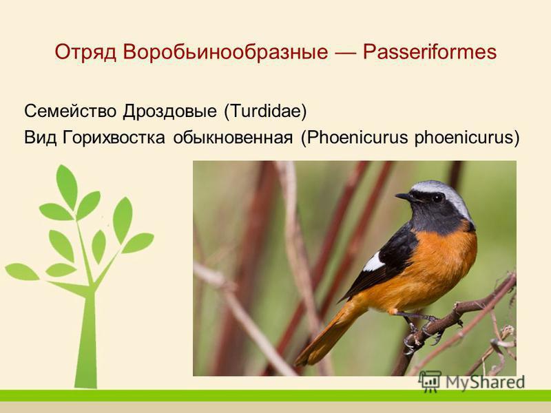 Отряд Воробьинообразные Passeriformes Семейство Дроздовые (Turdidae) Вид Горихвостка обыкновенная (Phoenicurus phoenicurus)