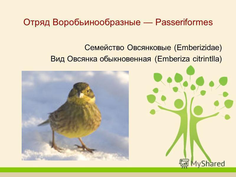 Отряд Воробьинообразные Passeriformes Семейство Овсянковые (Emberizidаe) Вид Овсянка обыкновенная (Emberiza citrintlla)