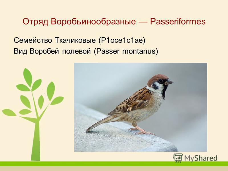 Отряд Воробьинообразные Passeriformes Семейство Ткачиковые (Р1 осе 1 с 1 ае) Вид Воробей полевой (Passer montanus)