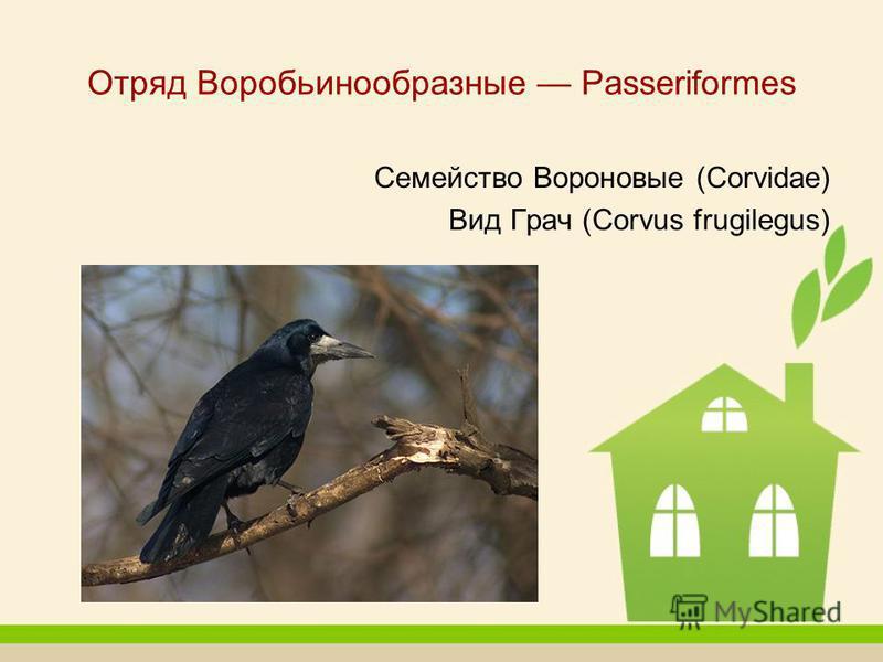 Отряд Воробьинообразные Passeriformes Семейство Вороновые (Corvidae) Вид Грач (Corvus frugilegus)