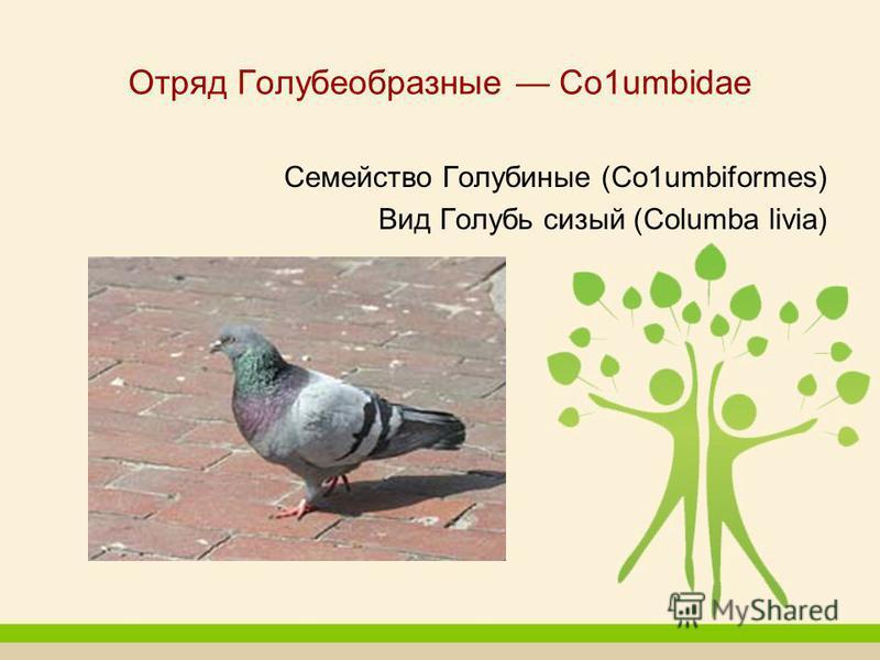Отряд Голубеобразные Со 1umbidae Семейство Голубиные (Со 1umbiformes) Вид Голубь сизый (Columba livia)