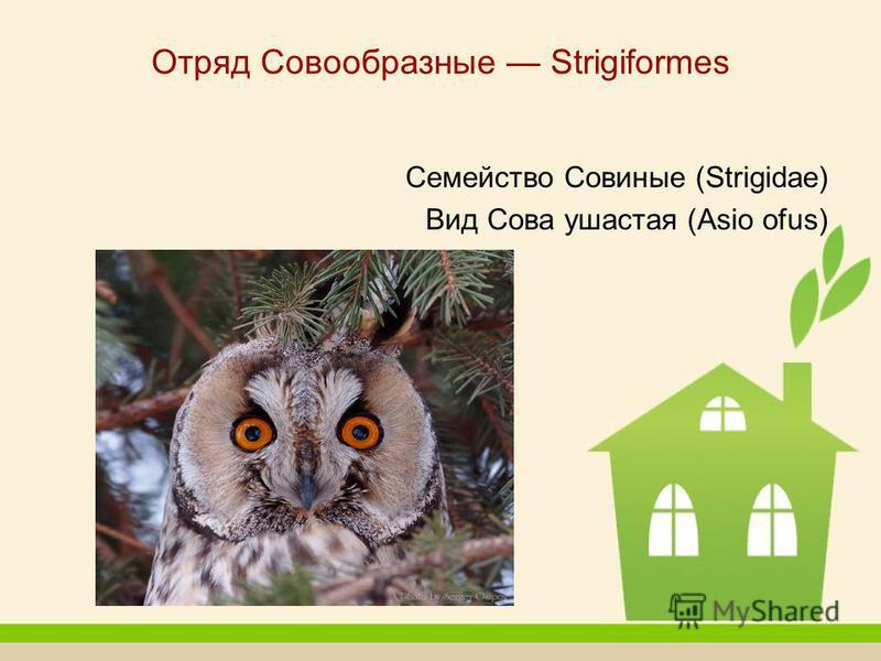Отряд Совообразные Strigiformes Семейство Совиные (Strigidae) Вид Сова ушастая (Asio ofus)