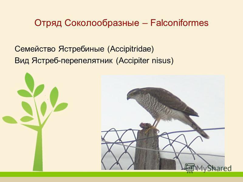 Отряд Соколообразные – Falconiformes Семейство Ястребиные (Accipitridae) Вид Ястреб-перепелятник (Accipiter nisus)