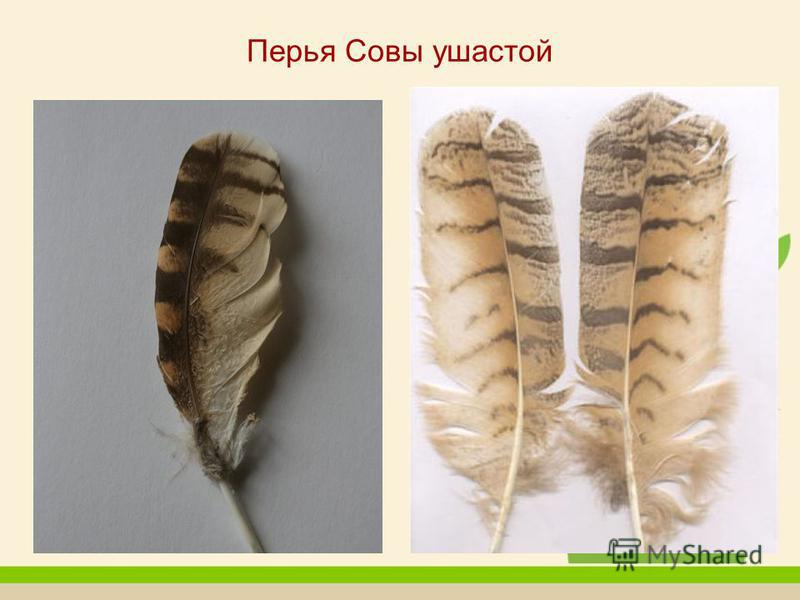 Перья Совы ушастой