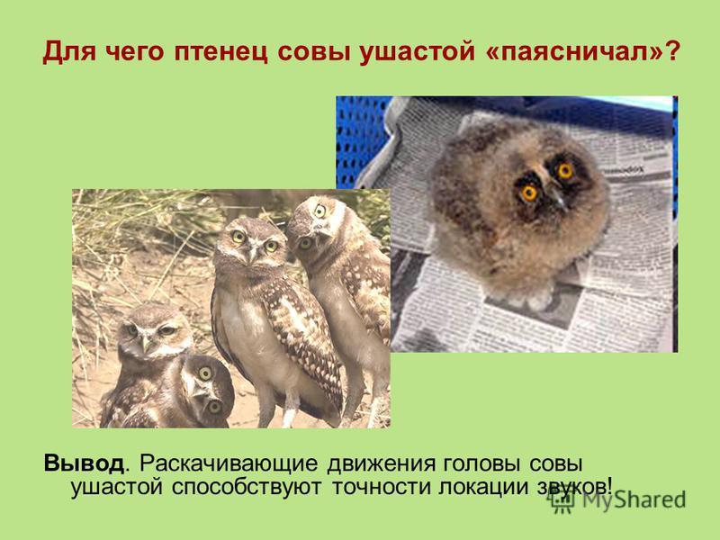 Для чего птенец совы ушастой «паясничал»? Вывод. Раскачивающие движения головы совы ушастой способствуют точности локации звуков!