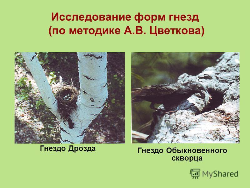Исследование форм гнезд (по методике А.В. Цветкова) Гнездо Дрозда Гнездо Обыкновенного скворца