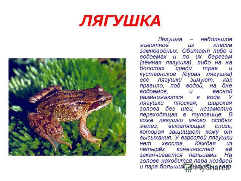 ЛЯГУШКА Лягушка – небольшое животное из класса земноводных. Обитает либо в водоемах и по их берегам (земная лягушка), либо на на болотах среди трав и кустарников (бурая лягушка) все лягушки зимуют, как правило, под водой, на дне водоемов, и весной ра
