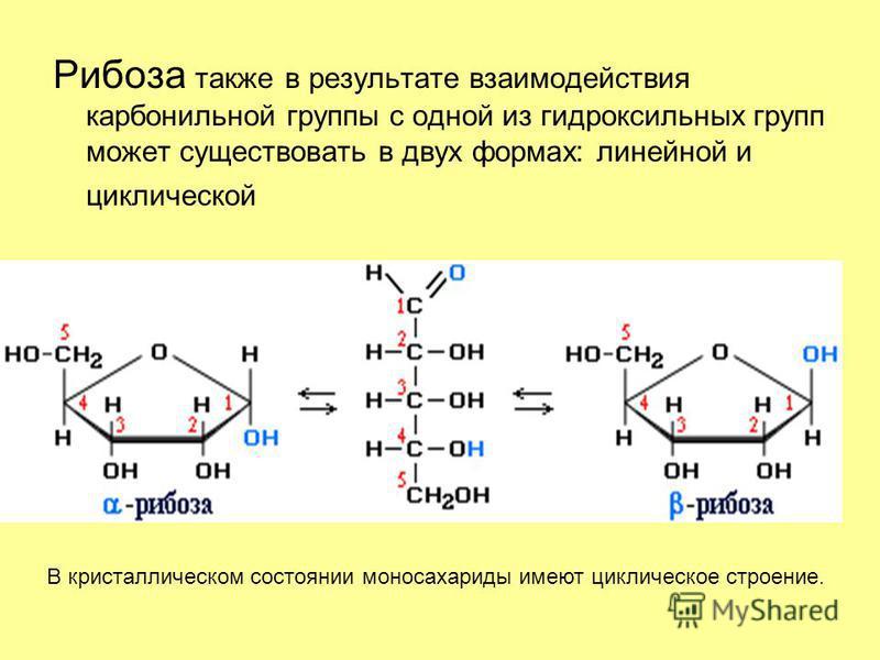 Рибоза также в результате взаимодействия карбонильной группы с одной из гидроксильных групп может существовать в двух формах: линейной и циклической В кристаллическом состоянии моносахариды имеют циклическое строение.