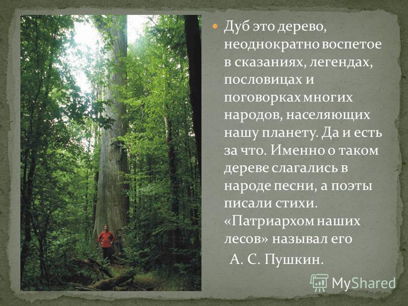 Дуб это дерево, неоднократно воспетое в сказаниях, легендах, пословицах и поговорках многих народов, населяющих нашу планету. Да и есть за что. Именно о таком дереве слагались в народе песни, а поэты писали стихи. «Патриархом наших лесов» называл его