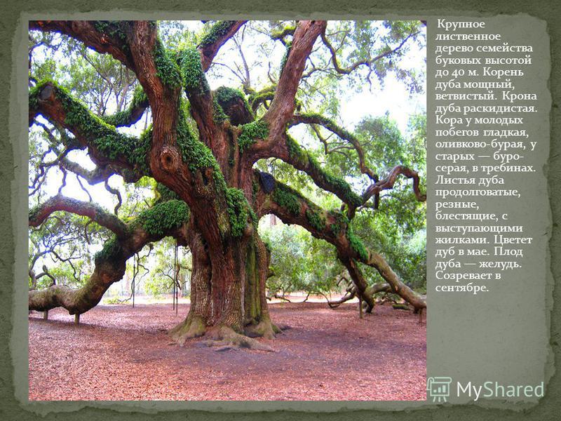 Крупное лиственное дерево семейства буковых высотой до 40 м. Корень дуба мощный, ветвистый. Крона дуба раскидистая. Кора у молодых побегов гладкая, оливково-бурая, у старых буро- серая, в трех 6 шинах. Листья дуба продолговатые, резные, блестящие, с