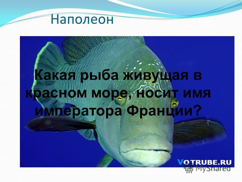 Наполеон Какая рыба живущая в красном море, носит имя императора Франции?
