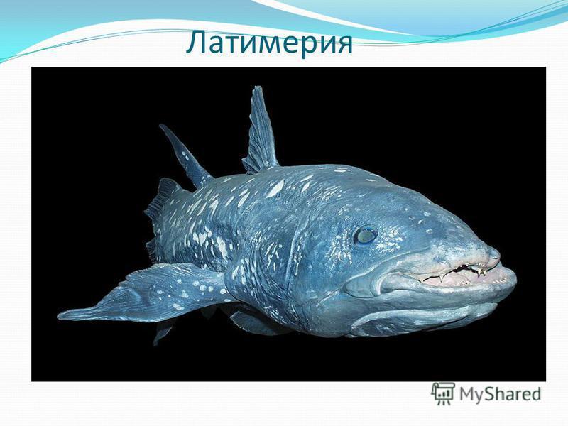 Латимерия Эту рыбу зоологи, как только поймали, сразу же окрестили «живым ископаемым?»