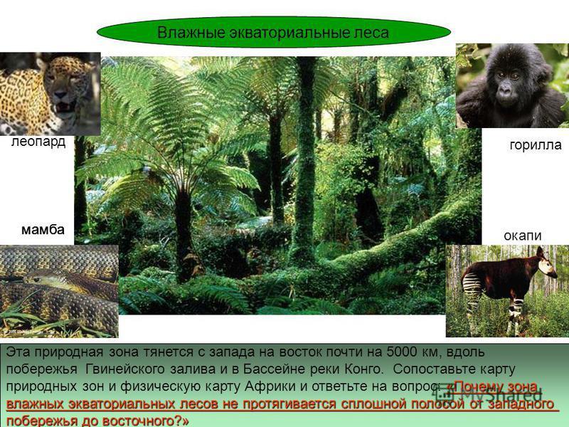 Эта природная зона тянется с запада на восток почти на 5000 км, вдоль побережья Гвинейского залива и в Бассейне реки Конго. Сопоставьте карту «Почему зона природных зон и физическую карту Африки и ответьте на вопрос: «Почему зона влажных экваториальн