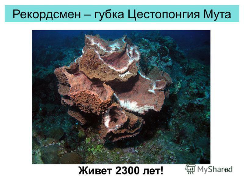 15 Рекордсмен – губка Цестопонгия Мута Живет 2300 лет!