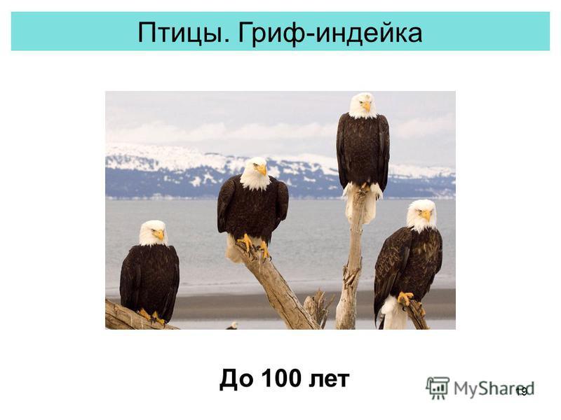 19 Птицы. Гриф-индейка До 100 лет