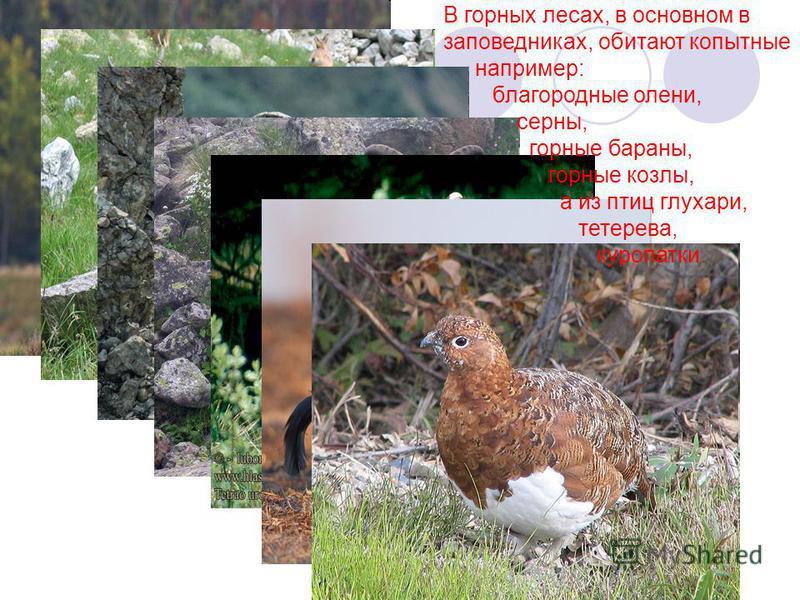 В горных лесах, в основном в заповедниках, обитают копытные например: благородные олени, серны, горные бараны, горные козлы, а из птиц глухари, тетерева, куропатки.