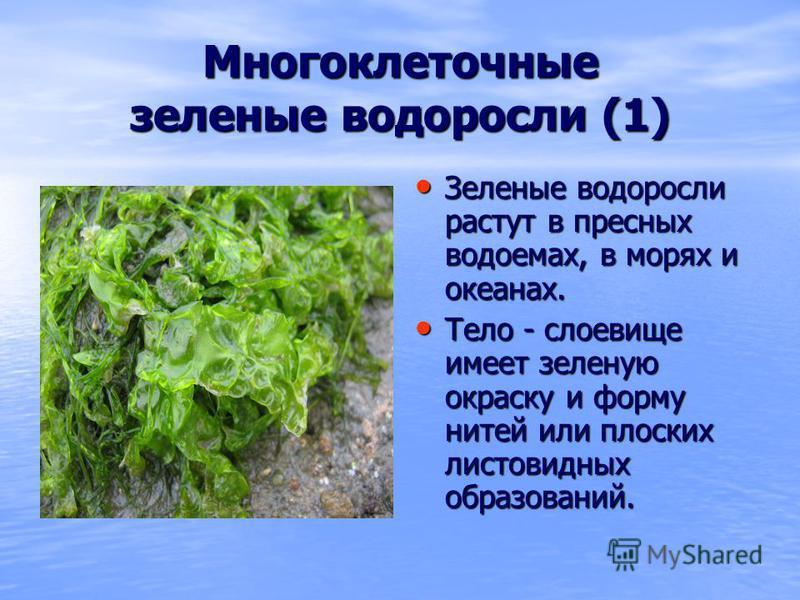 Многоклеточные зеленые водоросли (1) Зеленые водоросли растут в пресных водоемах, в морях и океанах. Зеленые водоросли растут в пресных водоемах, в морях и океанах. Тело - слоевище имеет зеленую окраску и форму нитей или плоских листовидных образован