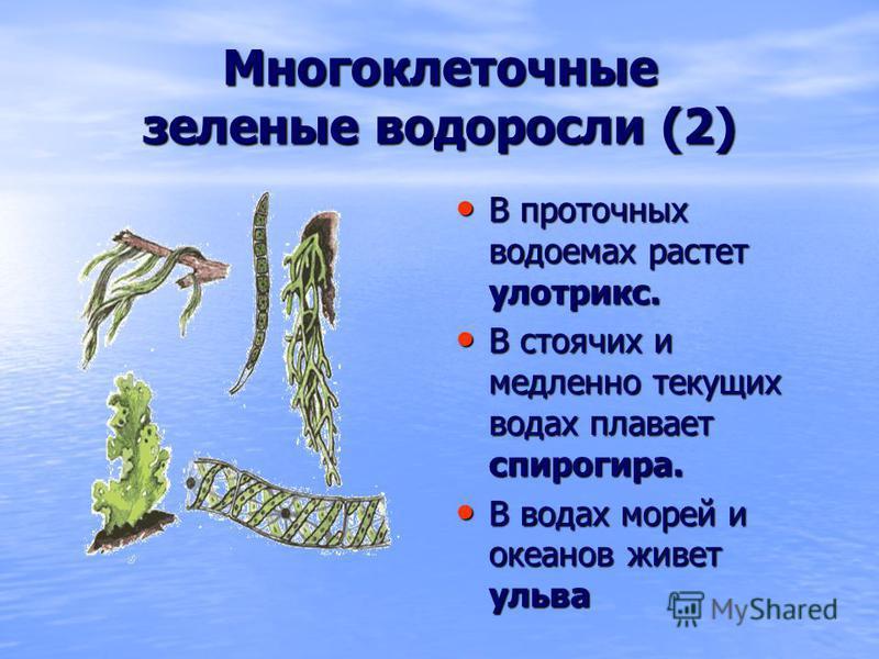 Многоклеточные зеленые водоросли (2) В проточных водоемах растет улотрикс. В проточных водоемах растет улотрикс. В стоячих и медленно текущих водах плавает спирогира. В стоячих и медленно текущих водах плавает спирогира. В водах морей и океанов живет