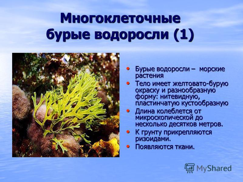 Многоклеточные бурые водоросли (1) Бурые водоросли – морские растения Бурые водоросли – морские растения Тело имеет желтовато-бурую окраску и разнообразную форму: нитевидную, пластинчатую кустообразную Тело имеет желтовато-бурую окраску и разнообразн