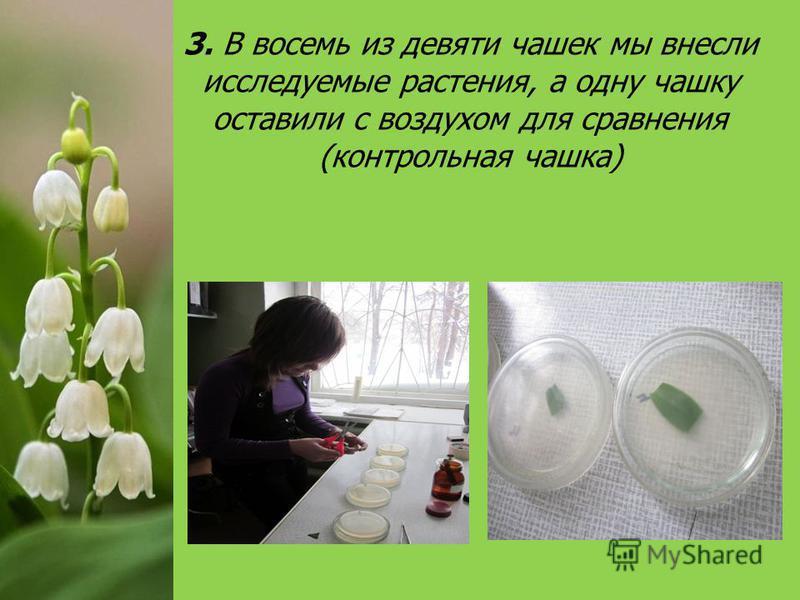 3. В восемь из девяти чашек мы внесли исследуемые растения, а одну чашку оставили с воздухом для сравнения (контрольная чашка)