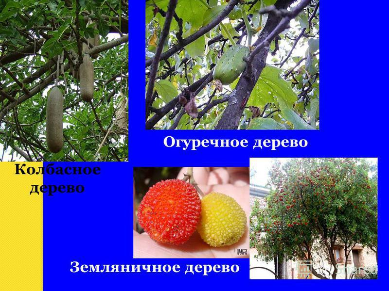 Колбасное дерево Огуречное дерево Земляничное дерево